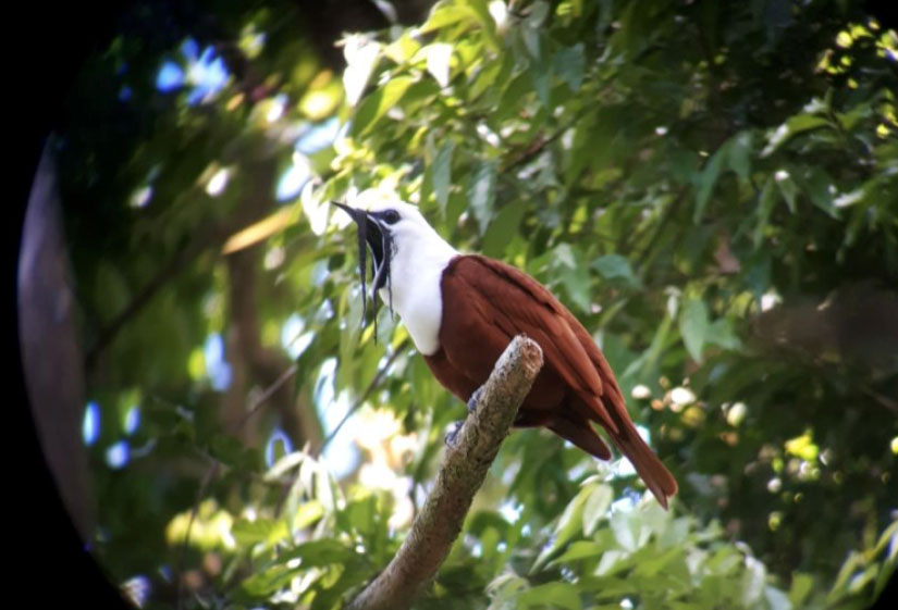 the-three-wattled-bellbird